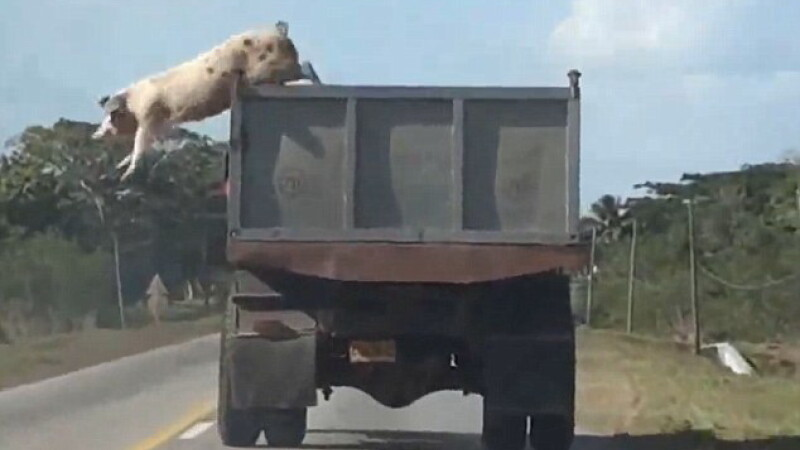 Inca o evadare a unui porc in drum spre abator. Peste 60.000 de oameni au urmarit imaginile cu animalul sarind din masina