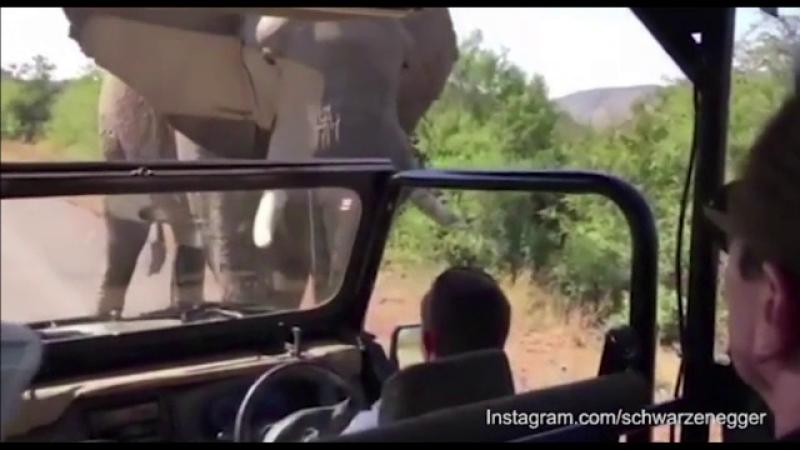 Arnold Swarzenneger, elefant