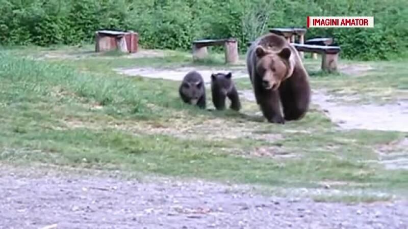ursoaica cu 2 pui