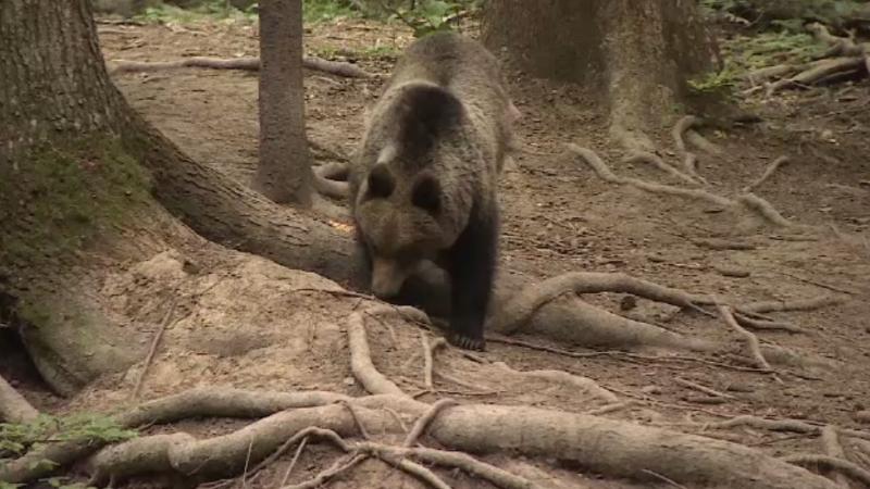 Măsurile contra urșilor ar putea fi aprobate. Cine se află în spatele planului ce propune vânătoarea