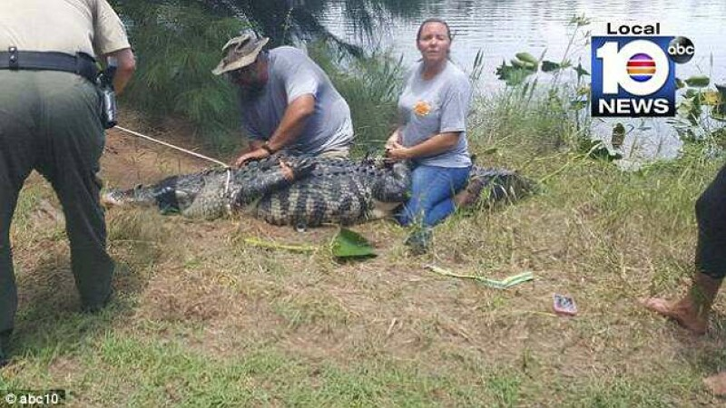 aligator, femeie, florida,