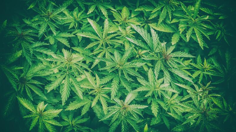 Consumul de canabis în scop recreativ, legalizat în Canada. Când va intra în vigoare legea
