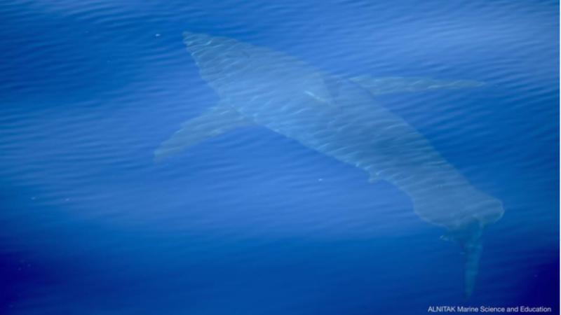 rechin, mallorca, marea mediterană,