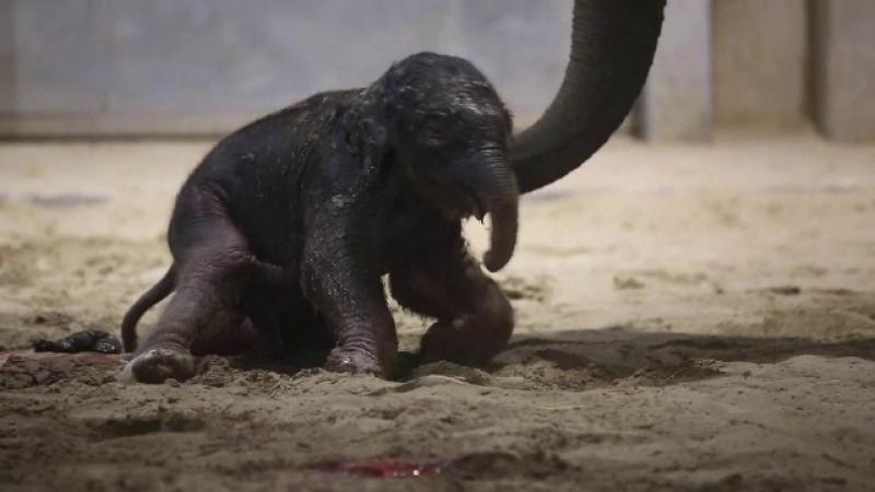 Momemtul venirii pe lume a unu elefănțel într-o grădină zoo din Belgia