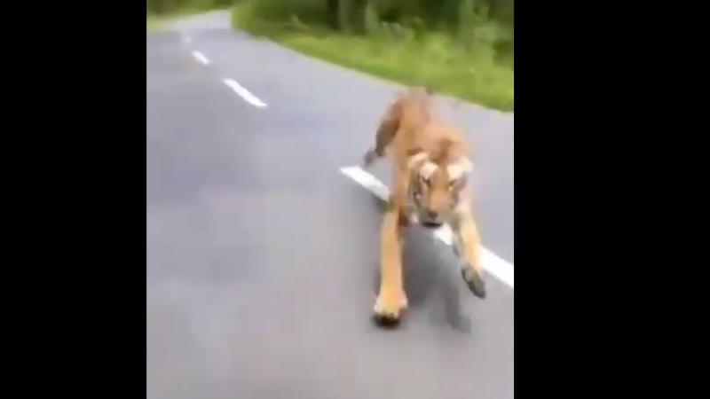 Atacat de tigru
