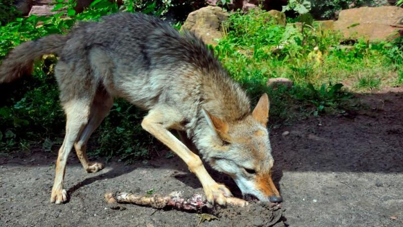 """Prădătorul fără dușman natural care a apărut în pădurile din Iași. Specialiștii îi spun """"distrugătorul universal"""""""