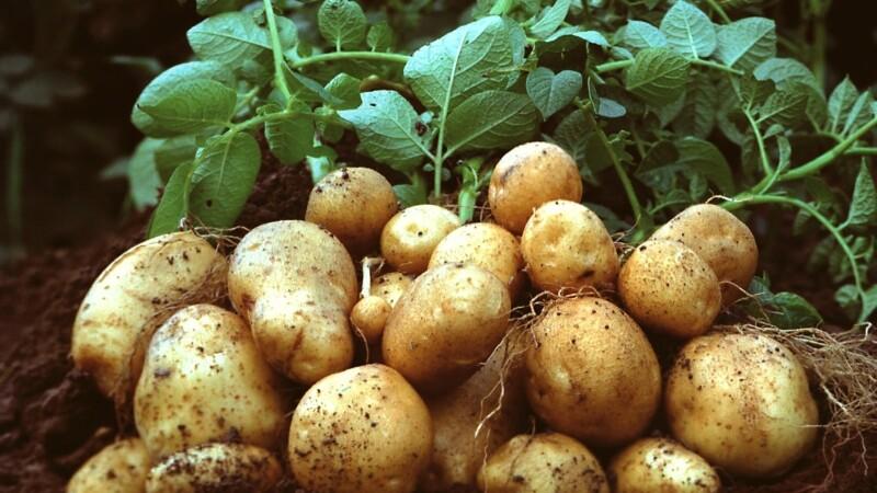 Cartofi Amflora