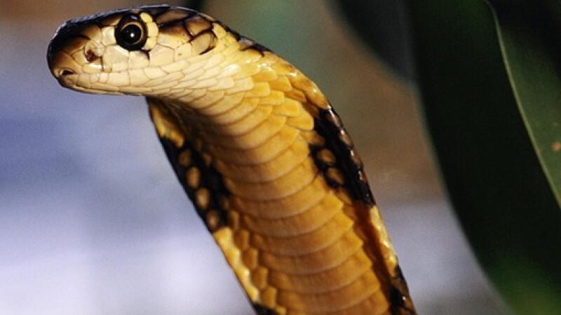Cobra asiatica