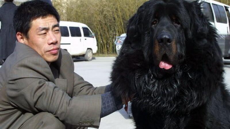 Mastiff-ul tibetan a devenit o afacere pentru chinezi