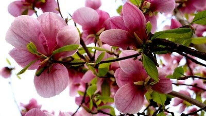 flori de primavara - 2