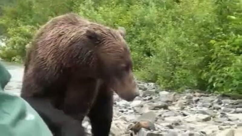 VIDEO. Au primit ce voiau si chiar de 10 ori mai mult: fata in fata cu un urs grizzly
