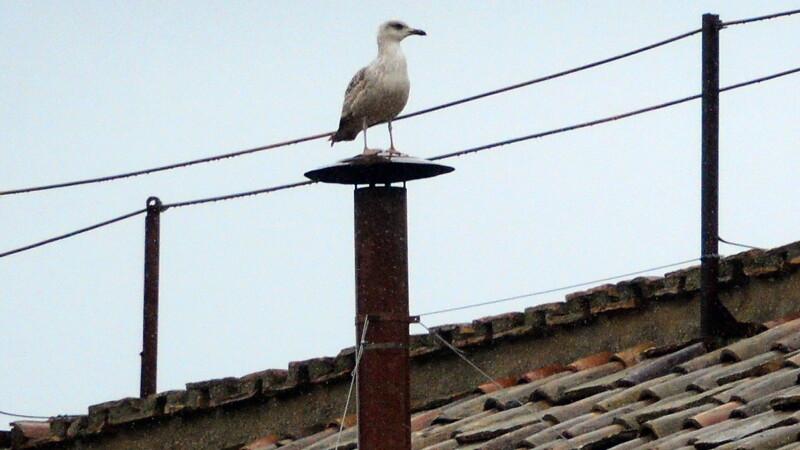 Pescarusul de pe cosul Vaticanului inainte de anuntarea Papei Francisc: e considerat un semn rau