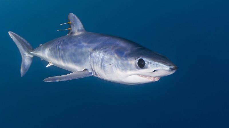 mako rechin