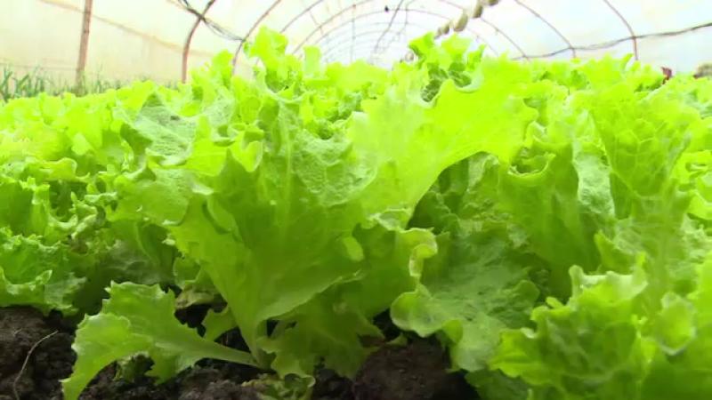 Vremea din aceasta iarna aduce productii record la legume sau ii ingroapa pe fermeri. Diferentele dintre Ardeal si Moldova