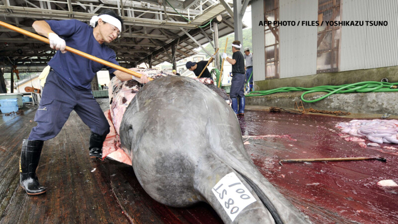 balena ucisa de japonezi