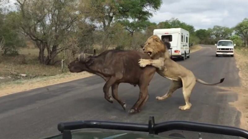 Au vazut moartea cu ochii. Momentul in care un leu sfasie un bivol in fata turistilor, intr-un parc national in Africa de Sud