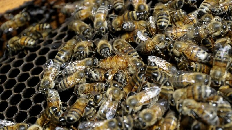 Studiu: Albinele sunt capabile să rezolve calcule matematice simple