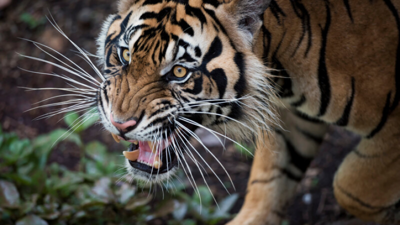Tigru de Sumatra
