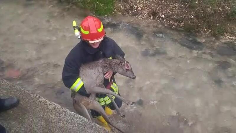 Imagini tulburătoare. Pompierii salvează un pui de căprioară, care era lovit. VIDEO