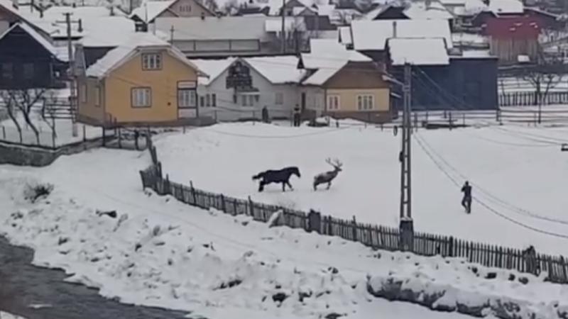 cerb și cal