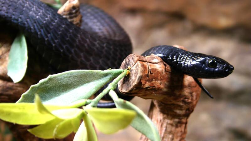 mamba negru