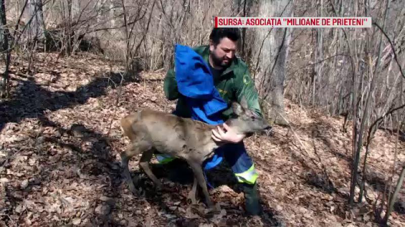 Căprioara salvată dintr-un pârâu din Zărnești, eliberată în pădure