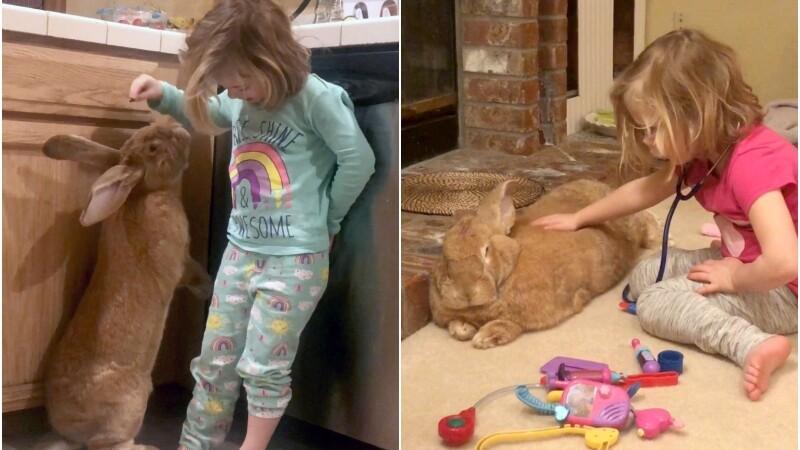 Iepure gigant, cel mai bun prieten al unei fetițe de 3 ani