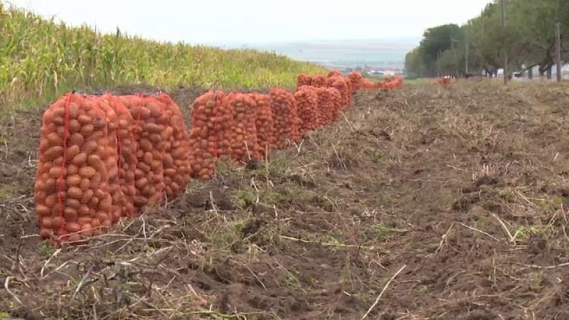 Cum au ajuns cartofii pe cale de dispariție în România. Nemulțumirile fermierilor