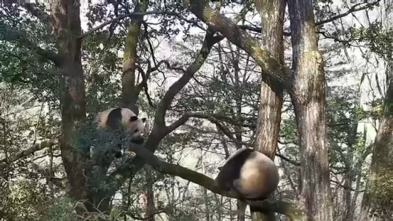 VIDEO. Momentul în care doi urși panda se bat și se fugăresc prin pădure