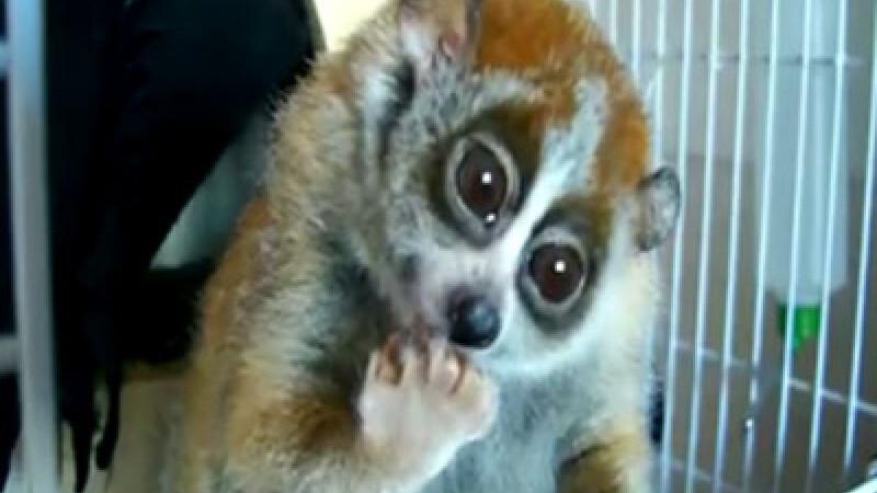 lemurul Sonya