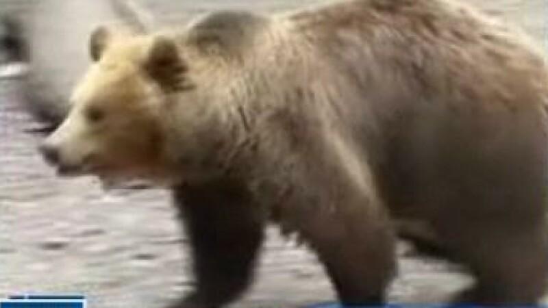 Americani rai: au gonit o ursoaica din oras cu petarde si gloante oarbe