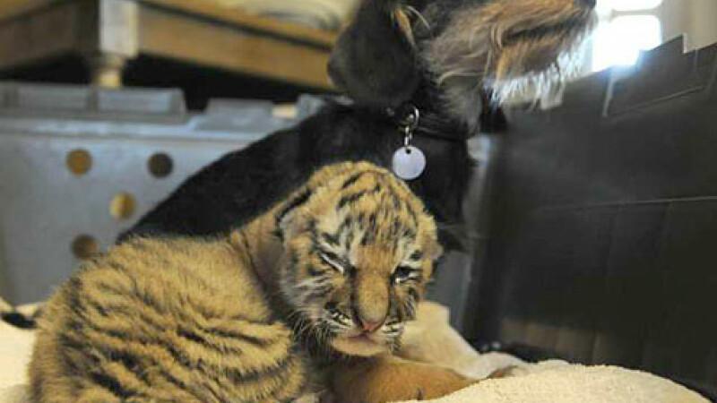 puiul de tigru