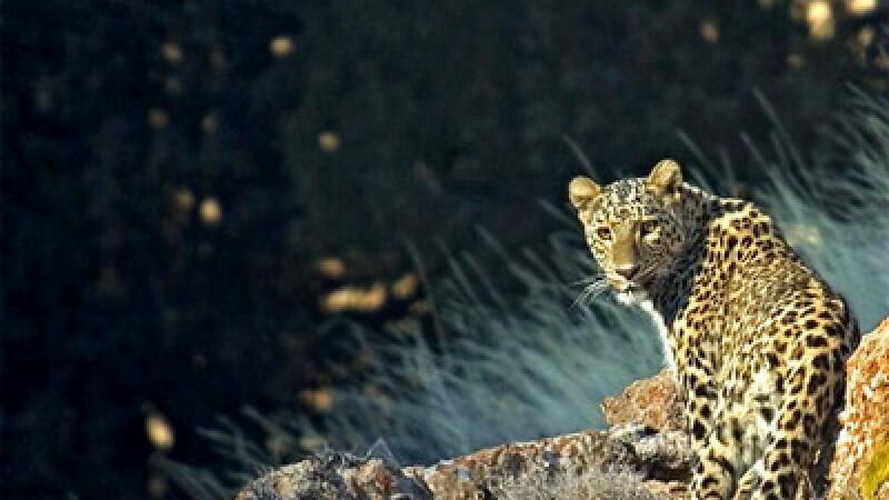 leopard anatolian