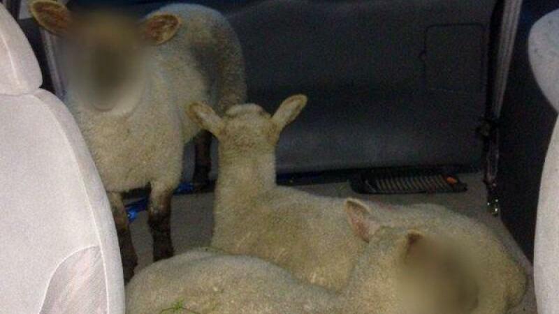 FOTO. Umor britanic: Politia a blurat fetele oilor. \