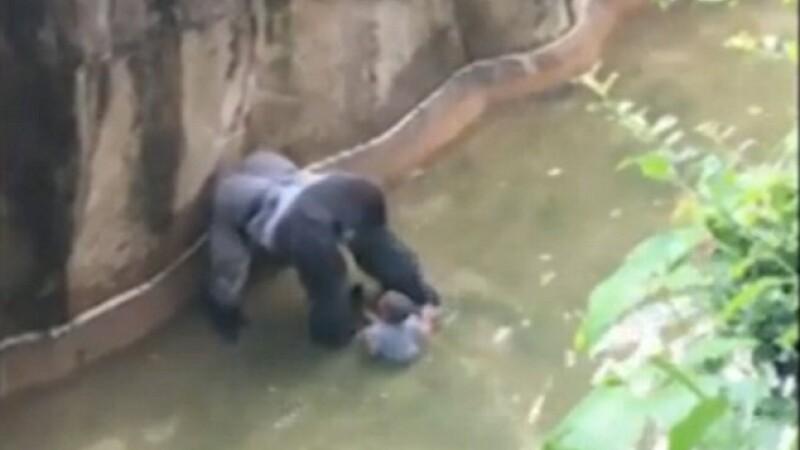 Cazul gorilei impuscate, dupa ce un copil a cazut in cusca ei. Parintii ar putea fi invinuiti pentru moartea animalului