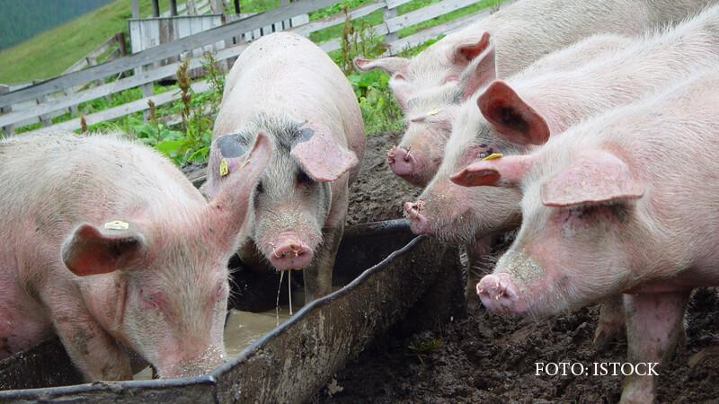 Subventii de milioane de euro pentru crescatorii de porci. Ferma fiului lui Dragnea ar urma sa beneficieze de aceasta lege