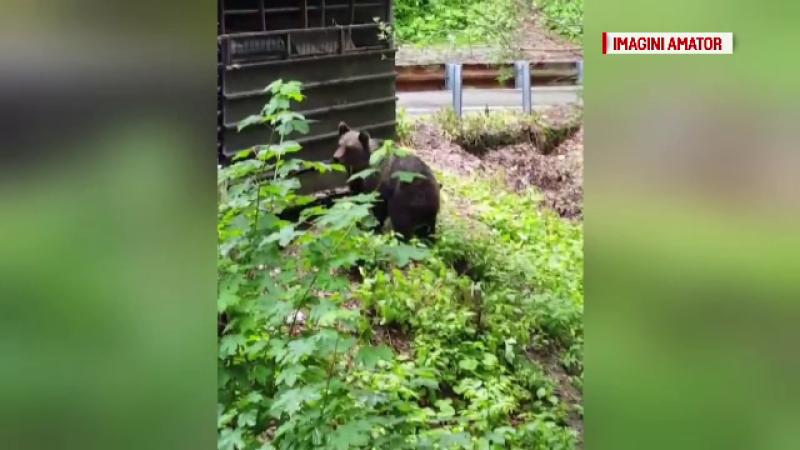 urși Transfăgărășan