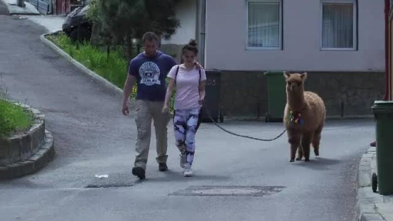 Viața lui Pablo, vestita alpacă a lui Marian Godină. Cu cât l-a cumpărat de la Zoo