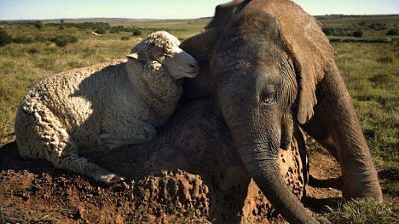 berbec elefant
