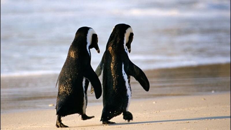Pinguinii gay fura oua pentru ca vor urmasi!