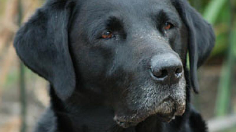 Labrador negru