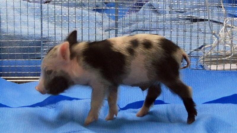 Porc pitic, cobai in laborator