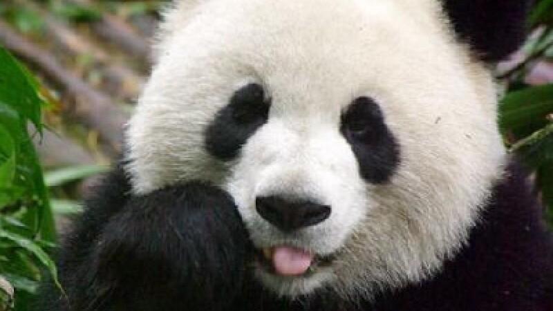 Delicatesa chinezilor: ceaiul cu excremente de panda, cel mai scump de pe planeta. Cat costa