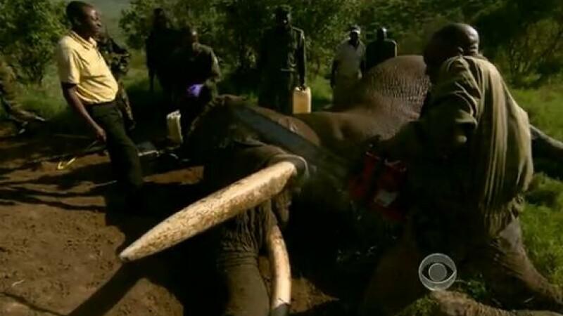 Kenya, paznici taie coltii elefantilor