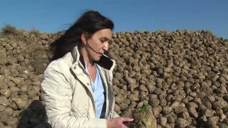 Agricultorii care au investit in 2014 in sfecla de zahar au castigat. Ce profit au facut pe hectar in acest an