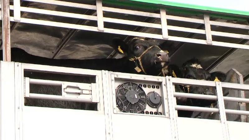 Proiectul unor cowboy americani care viseaza o lume fara foame. 70 de vaci