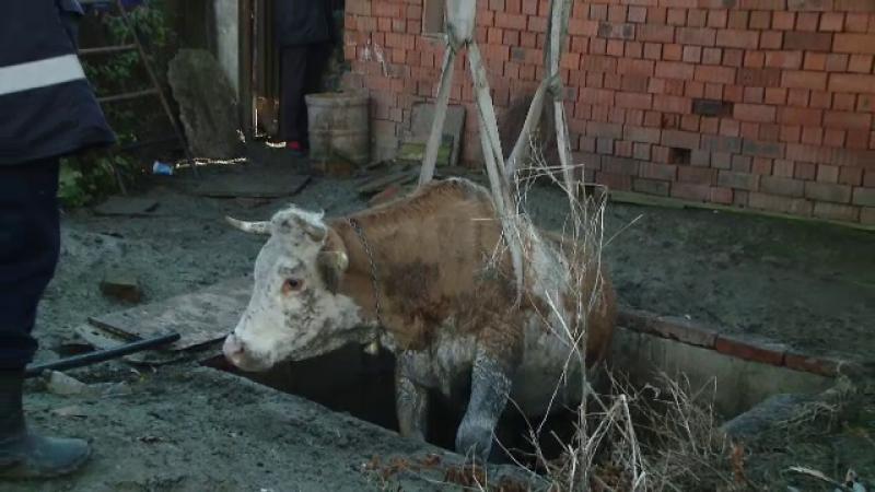 vaca Timis