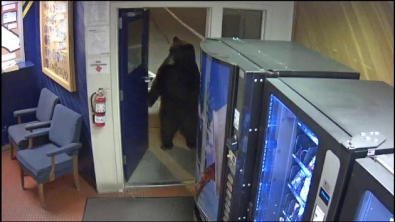 urs poliție