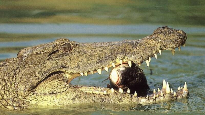 Aligatori salvati dupa trecerea uraganului Ike