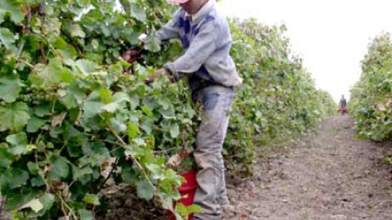 Viticultorii au strans peste sase tone de struguri la hectar